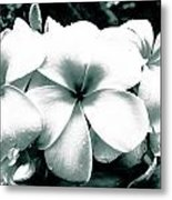 Plumeria Bunch No Color Metal Print by Lisa Cortez
