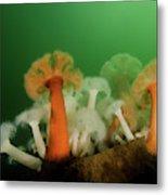 Plumose Anemone In Puget Sound Metal Print
