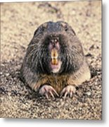 Pocket Gopher Chatting Metal Print