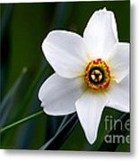 Poet's Daffodil Metal Print