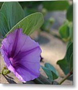 Pohuehue - Pua Nani O Kamaole Hawaii - Beach Morning Glory Metal Print