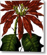 Poinsettia A Traditional Christmas Plant Vintage Poster Metal Print