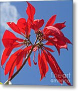 poinsettia from Madagascar Metal Print