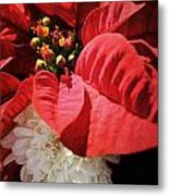 Poinsettia In Bloom Metal Print