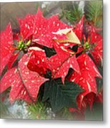 Poinsettia In Red And White Metal Print