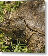 Pointed Nose Florida Softshell Turtle - Apalone Ferox Metal Print