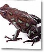 poison dart frog Panama Metal Print