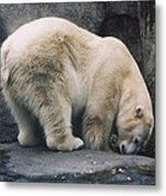 Polar Bear At Zoo Metal Print