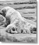 Polar Bear Bw Metal Print