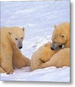 Polar Bear Chew Toy Metal Print