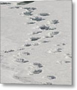 Polar Bear Footprints Metal Print