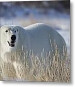 Polar Bear In The Sunshinechurchill Metal Print