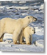 Polar Bear Mother And Cub Metal Print