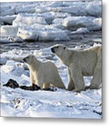 Polar Bear Mother And Cub Sniffing The Air Metal Print