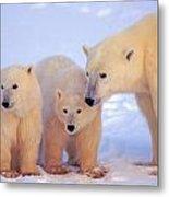 Polar Bear Mother And Cubs Metal Print
