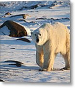 Polar Bear On The Tundra Metal Print