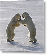 Polar Bear Pair Sparring Churchill Metal Print