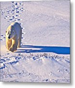 Polar Bear Tracks Metal Print
