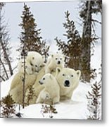 Polar Bear Ursus Maritimus Mother And Cubs Metal Print