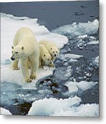 Polar Bear With Cubs On Pack Ice Metal Print