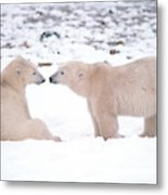 Polar Bears Introducing Themselves Metal Print