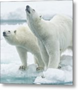 Polar Bears, Mother And Son Metal Print