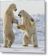 Polar Bears  Ursus Maritimus  Sparring Metal Print