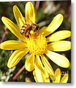 Pollen-laden Bee On Yellow Daisy Metal Print