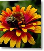 Pollenating Bumblebee Metal Print