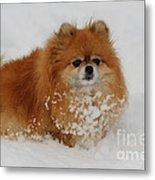 Pomeranian In Snow Metal Print