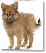 Pomeranian Puppy Dog Metal Print