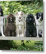 Poodles And Other Dogs On A Bench Metal Print