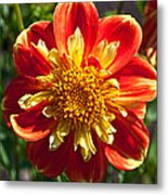 Pooh Dahlia Flower Metal Print