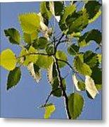 Poplar Leaves Metal Print