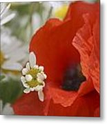 Close Up Of A Poppy With Daisies Metal Print