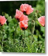 Poppies In My Garden Metal Print
