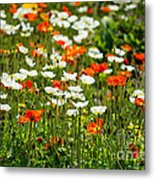 Poppy Fields - Beautiful Field Of Spring Poppy Flowers In Bloom. Metal Print