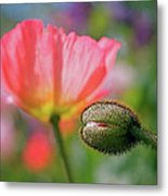 Poppy In Waiting Metal Print