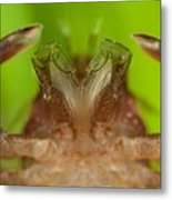 Porcelain Crab Metal Print by Science Photo Library