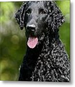 Portrait Black Curly Coated Retriever Dog Metal Print