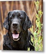 Portrait Of A Black Labrador Retriever Metal Print