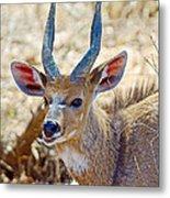 Portrait Of A Bushbuck In Kruger National Park-south Africa  Metal Print
