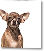 Portrait Of A Chocolate Chihuahua - The Metal Print