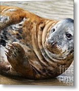 Portrait Of A Common Seal  Metal Print