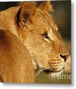 Portrait Of A Dreamy Lioness  Metal Print