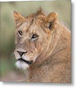 Portrait Of A Lioness, Panthera Leo Metal Print