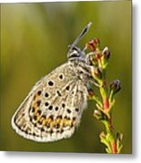 Portrait Of A Morning Dew Butterfly Metal Print