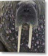 Portrait Of A Walrus Metal Print