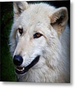 Portrait Of A White Wolf Metal Print