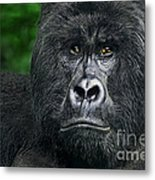 Portrait Of A Wild Mountain Gorilla Silverbackhighly Endangered Metal Print
